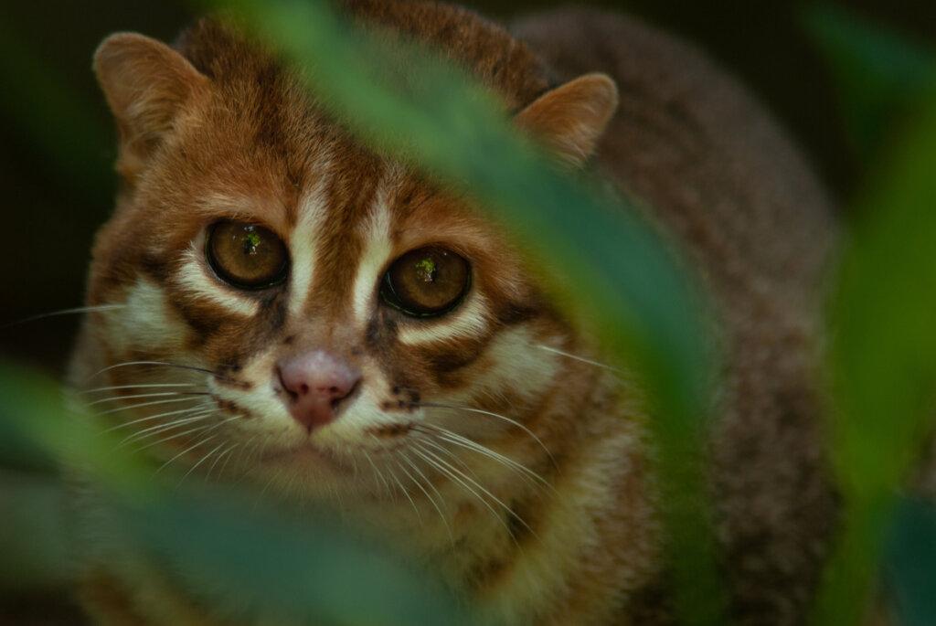 Gato de cabeza plana: un fascinante felino salvaje