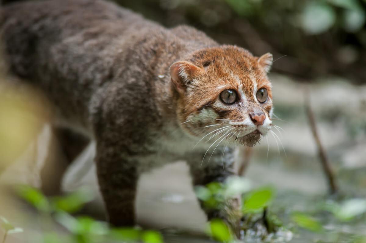 Un chat à tête plate.