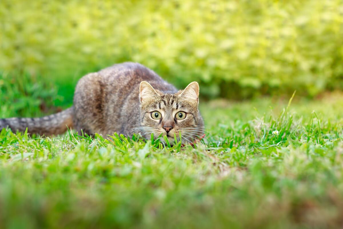 Un gato cazando.