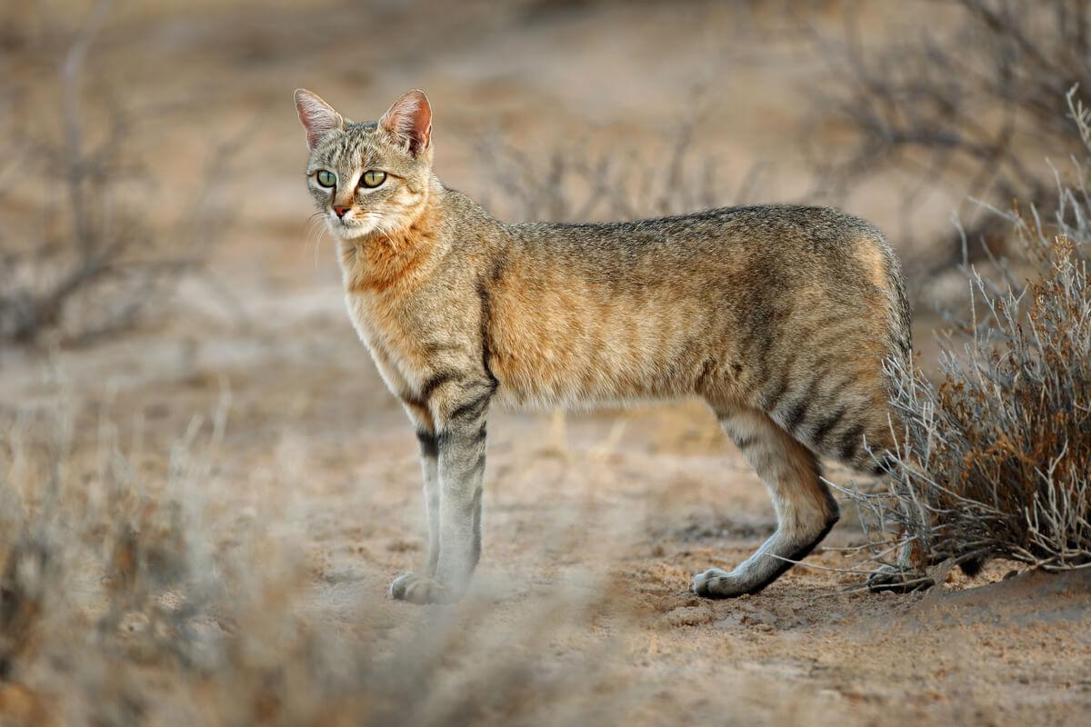 Un gato montés del desierto.