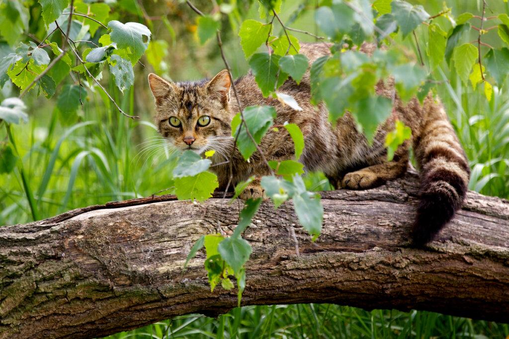 El plan de recuperación para salvar al gato salvaje escocés