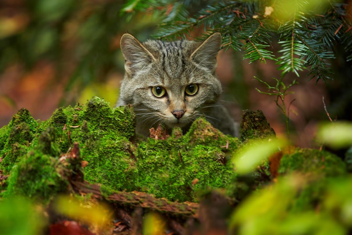 Un gato salvaje.