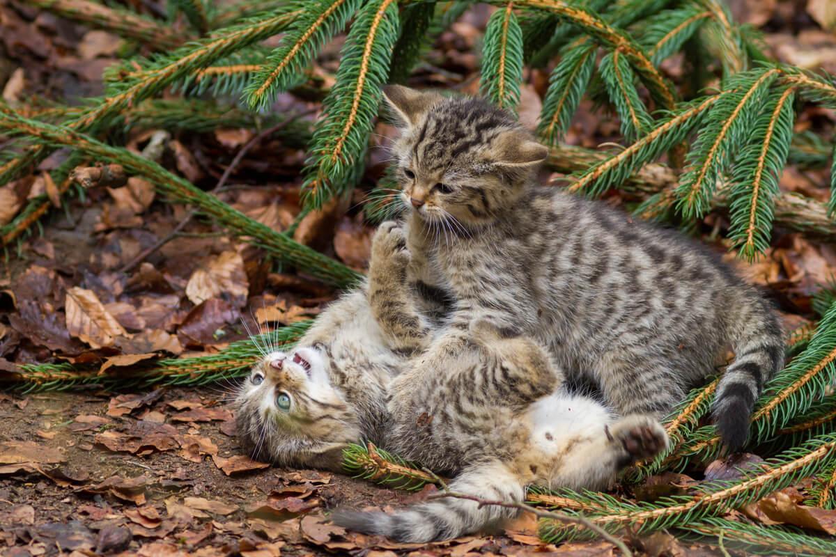 Crías de gato salvaje escocés.