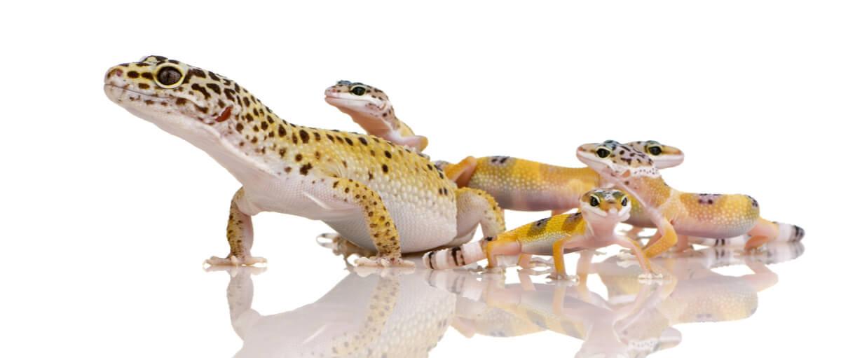 Un gecko leopardo con sus crías.