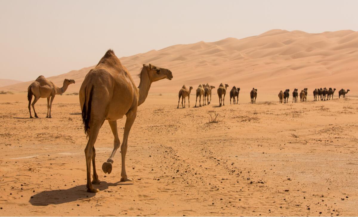 Un grupo de camellos recorriendo el desierto.