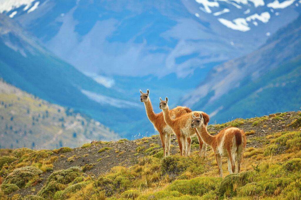 ¿Quiénes son los camélidos de Sudamérica y cómo se organizan?