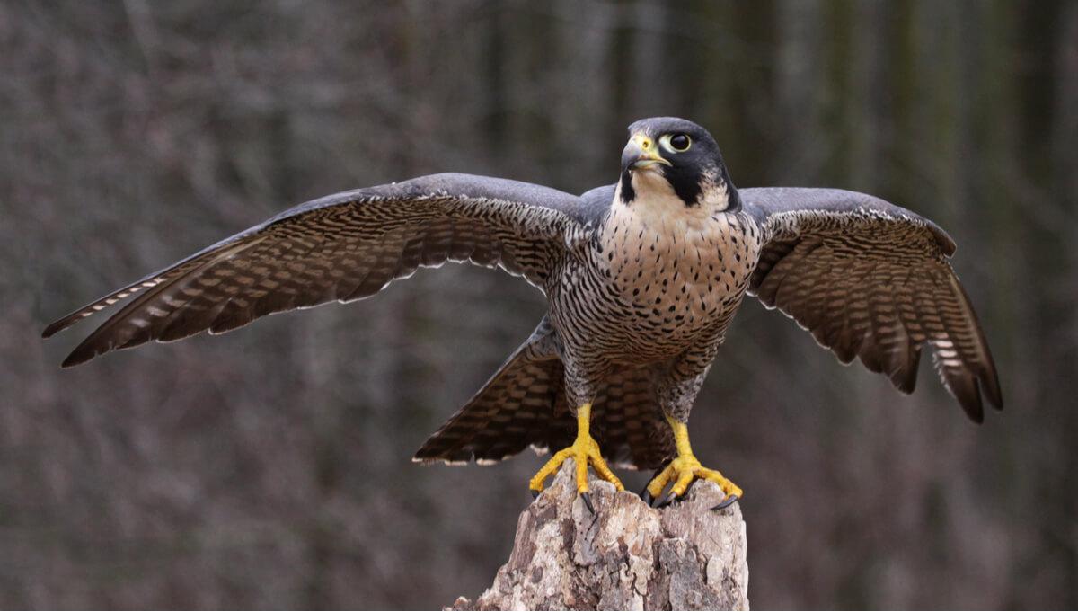 Un halcón peregrino extendiendo las alas.