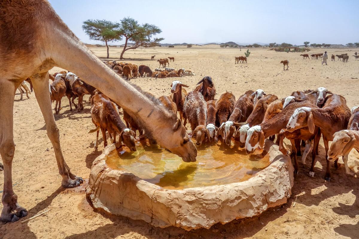 Infecciones de camélidos y ganado.
