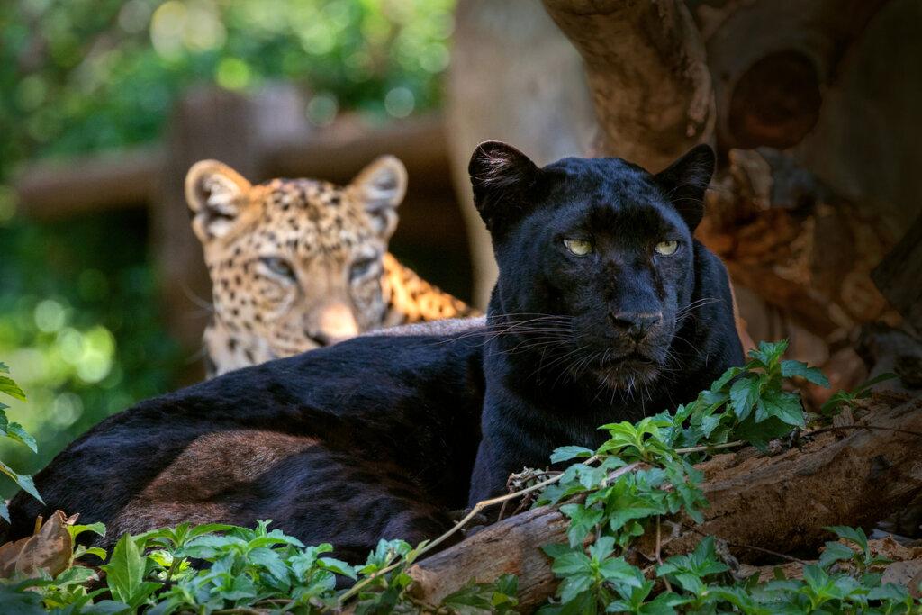 Curiosidades sobre los animales melanísticos