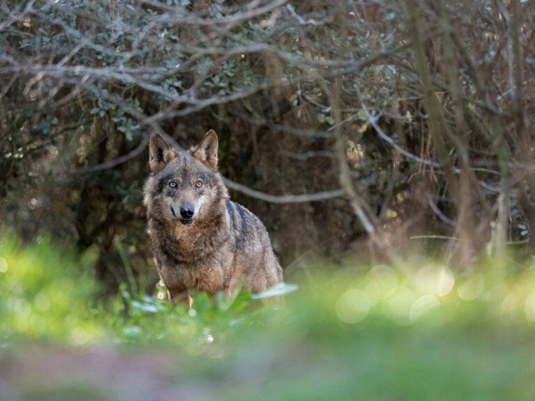 Tres especies de mamíferos en peligro de extinción en España