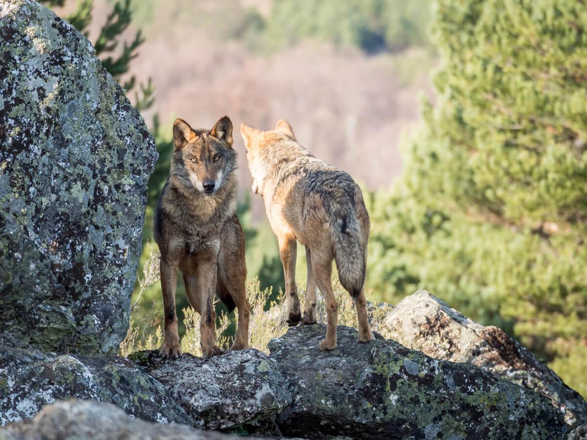 Lobos ibéricos en peligro de extinción.