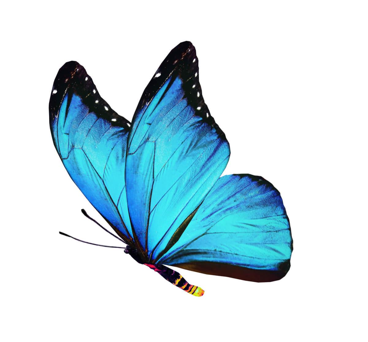 Una mariposa adulta.