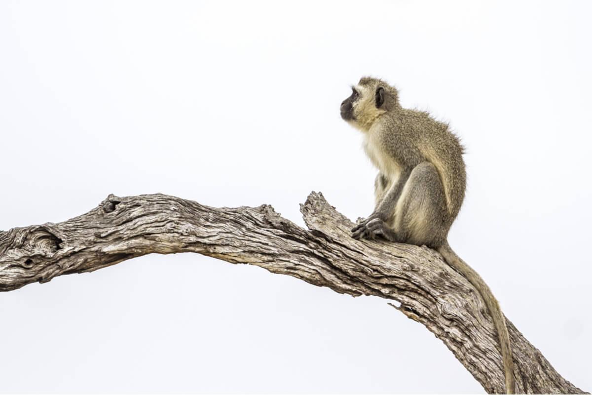 Un mono sobre una rama en un fondo blanco.