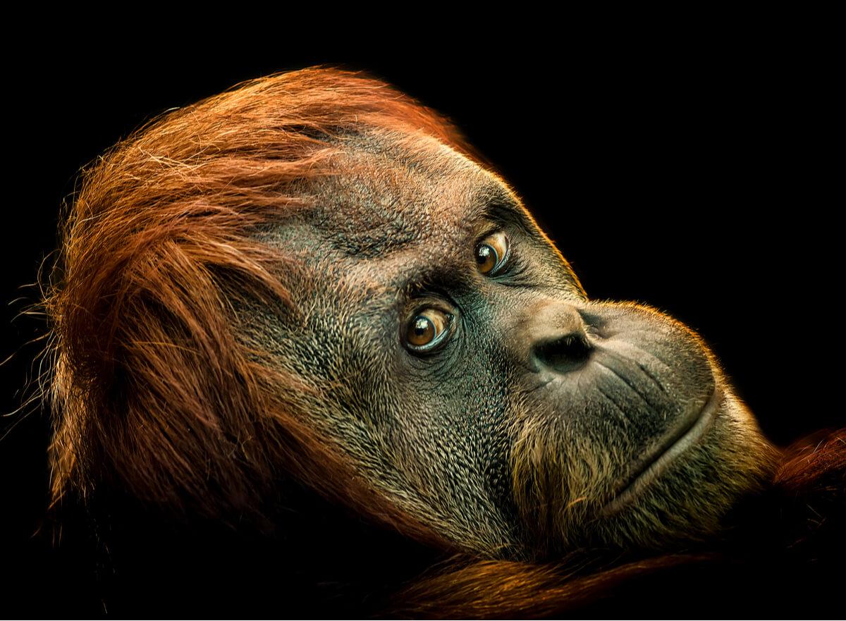 El orangután pigmeo es otro de los animales en peligro crítico de extinción.