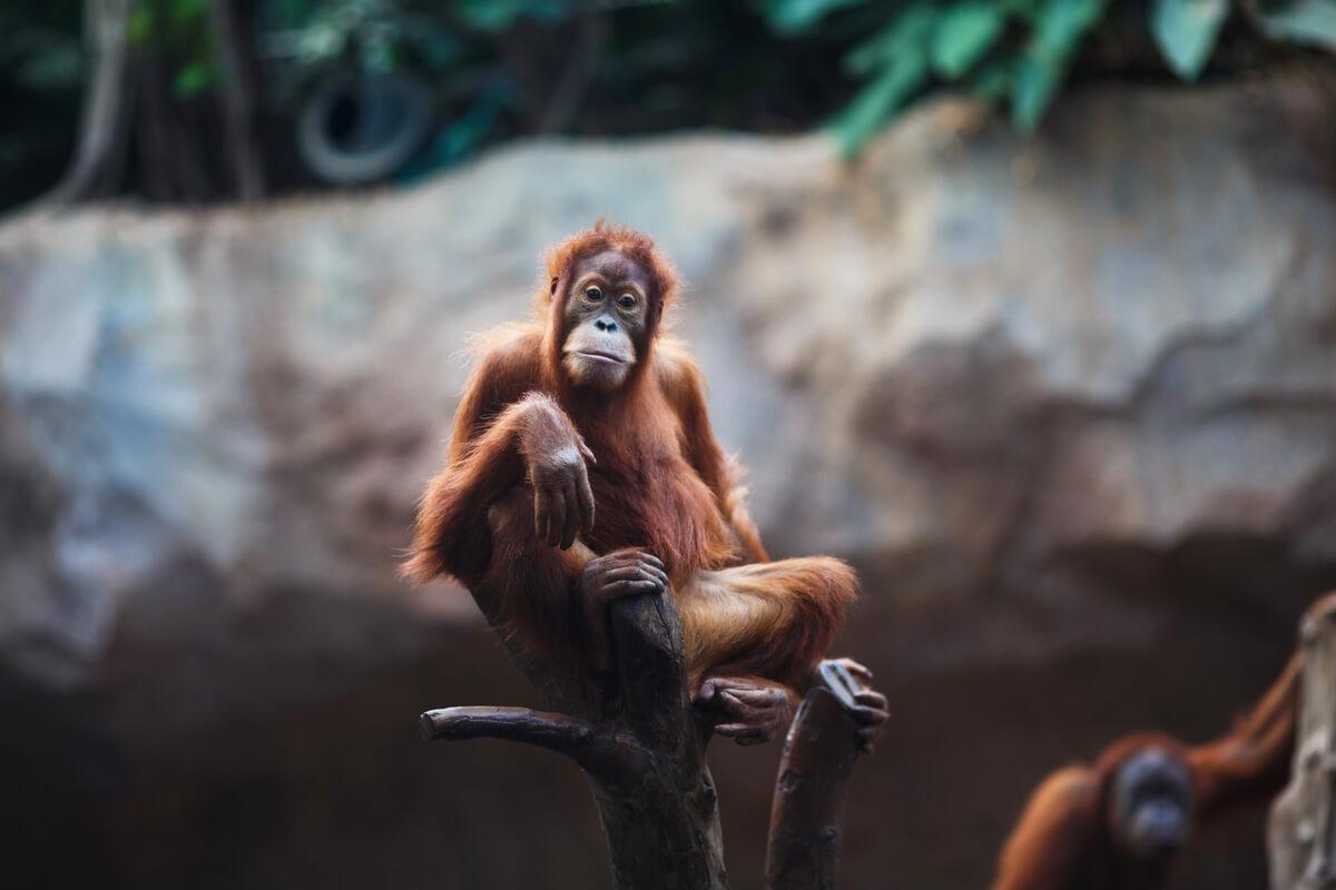 Un mono triste en el zoo.