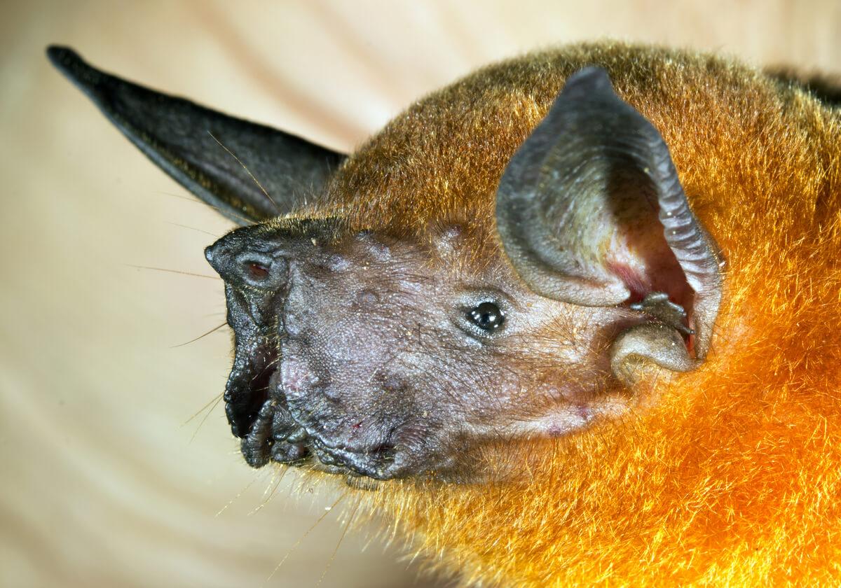 Un murciélago pescador, otro de los animales que se alimentan de peces.