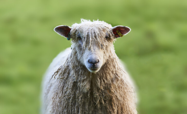 Curiosidades sobre la lana de las ovejas
