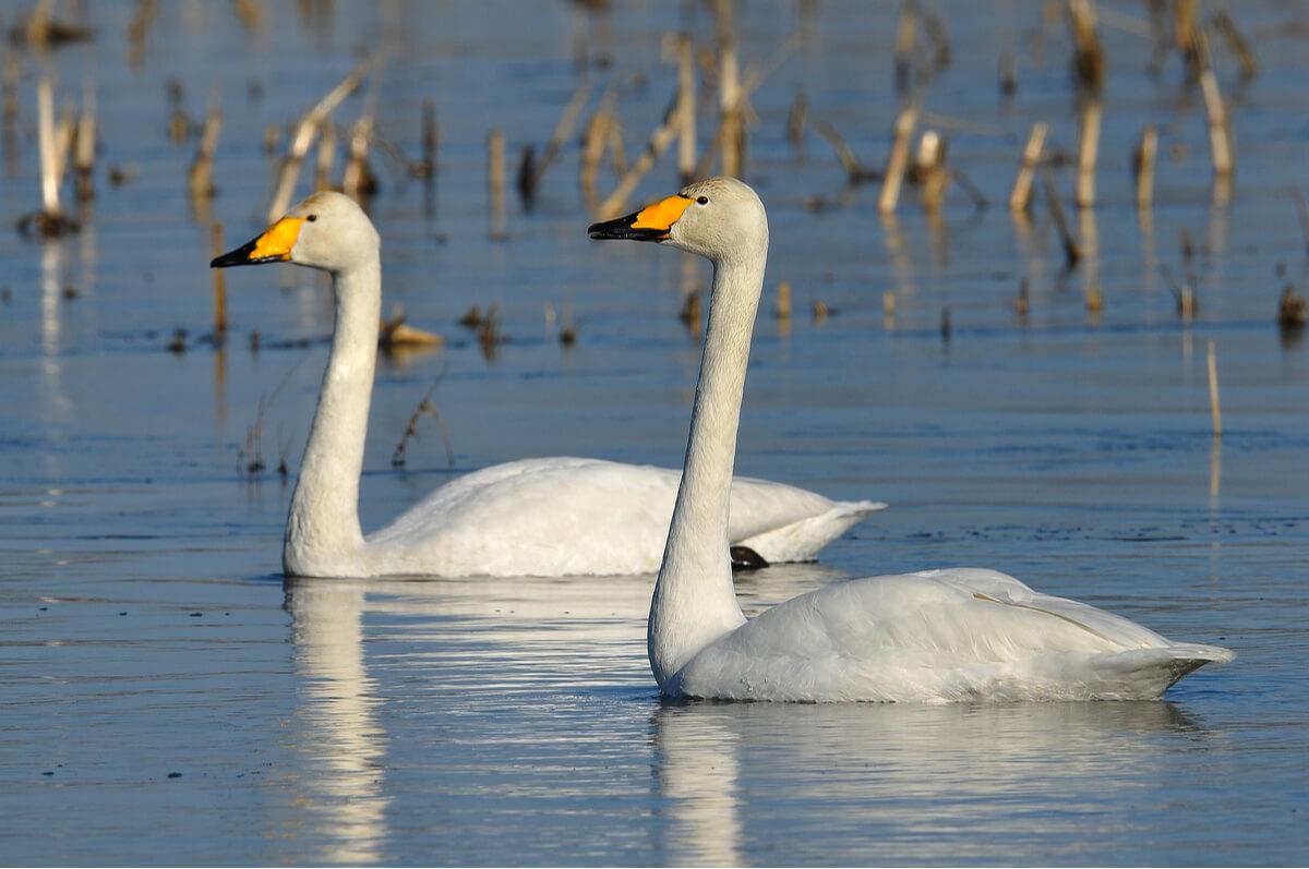 Una pareja de cisnes cantores.