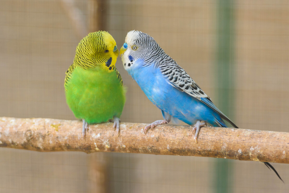 Una pareja de periquitos dándose amor.