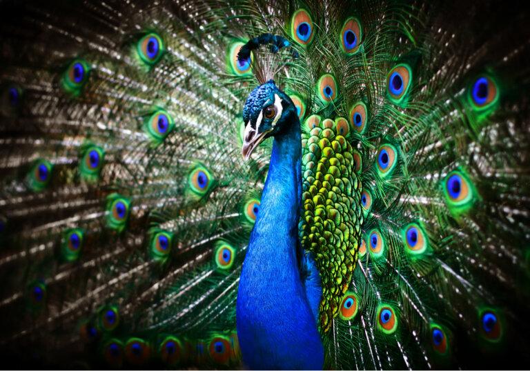 ¿Por qué el pavo real extiende su cola?