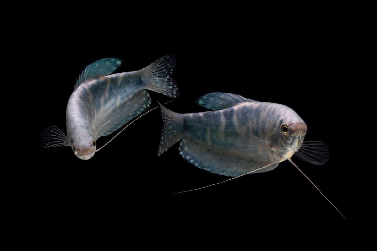 Los gouramis son otros de los peces más agresivos.