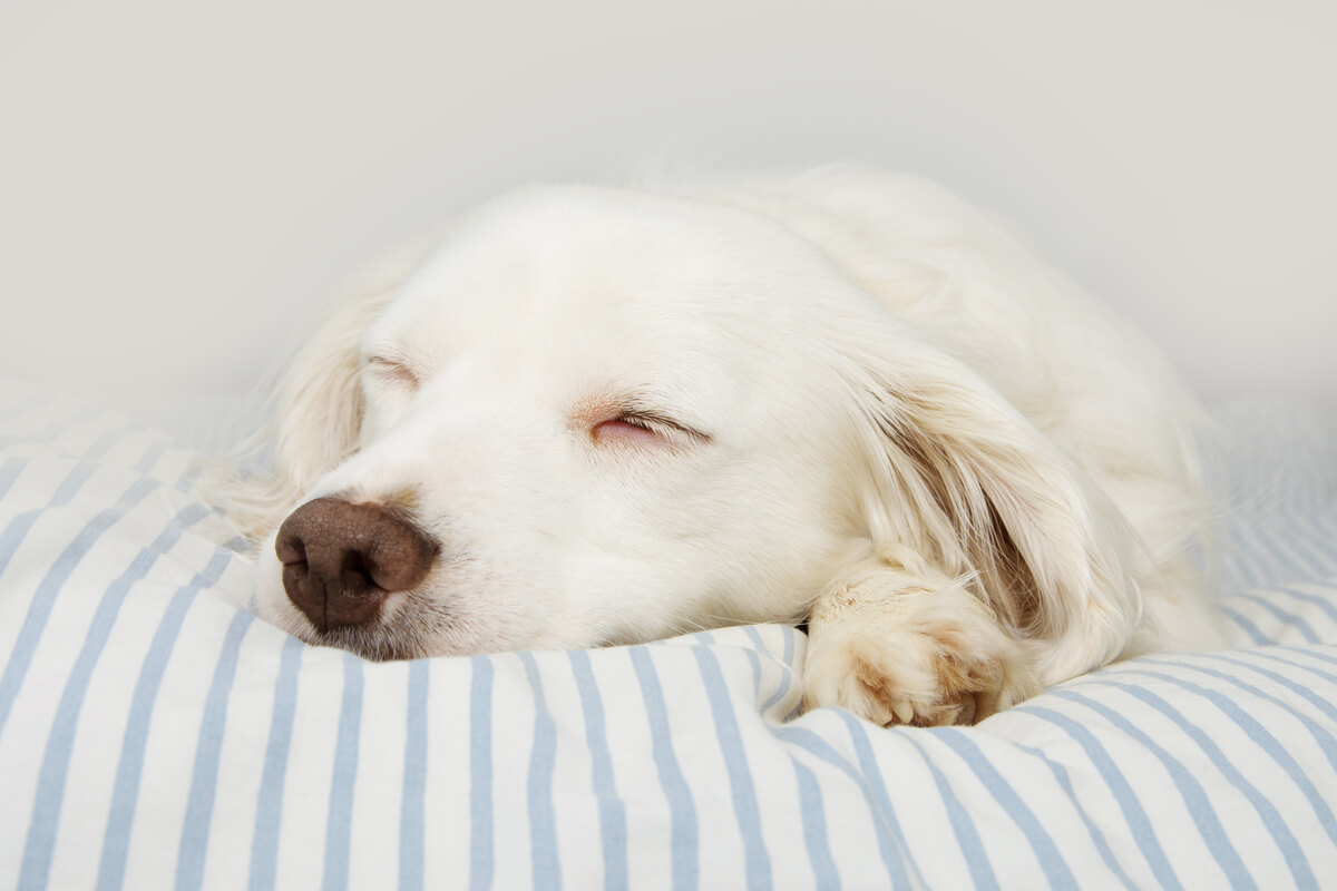 Un perro albino durmiendo.