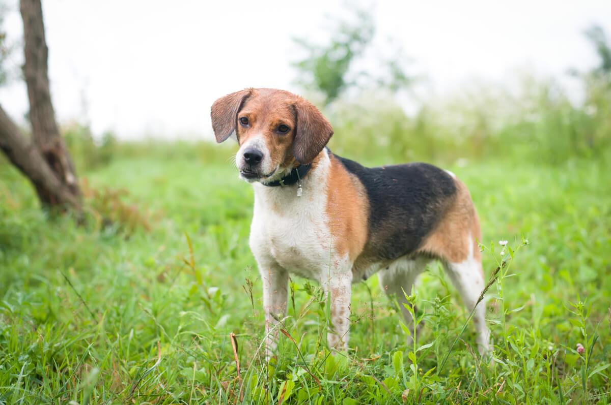 Un perro cazador estonio.