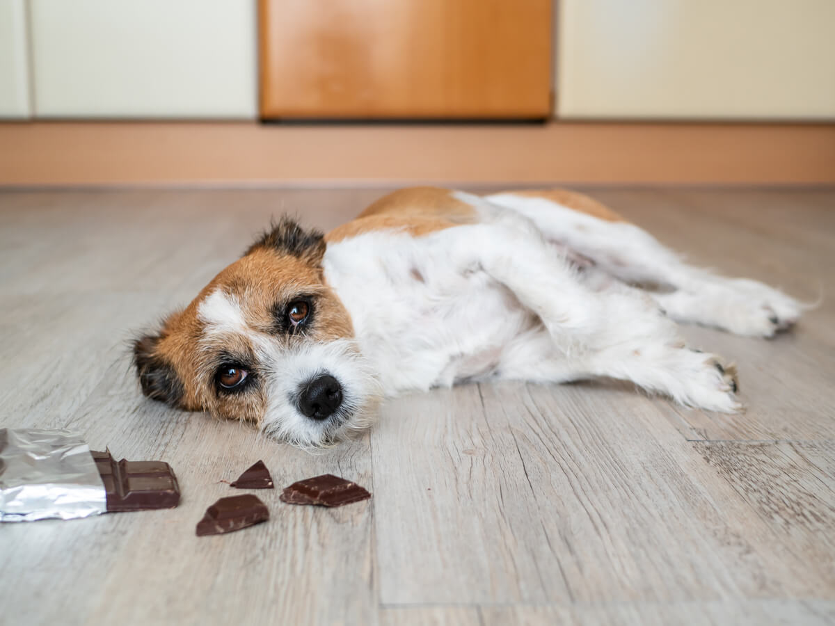 Un perro triste ante una tableta de chocolate.