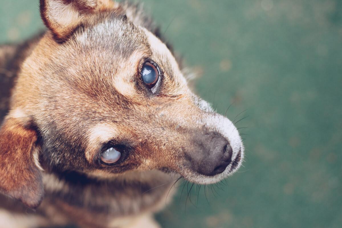 Un perro ciego con cataratas.