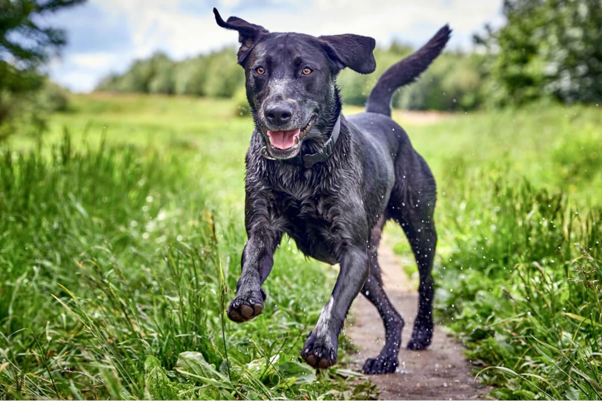 La ataxia imposibilita un correcto movimiento del animal.