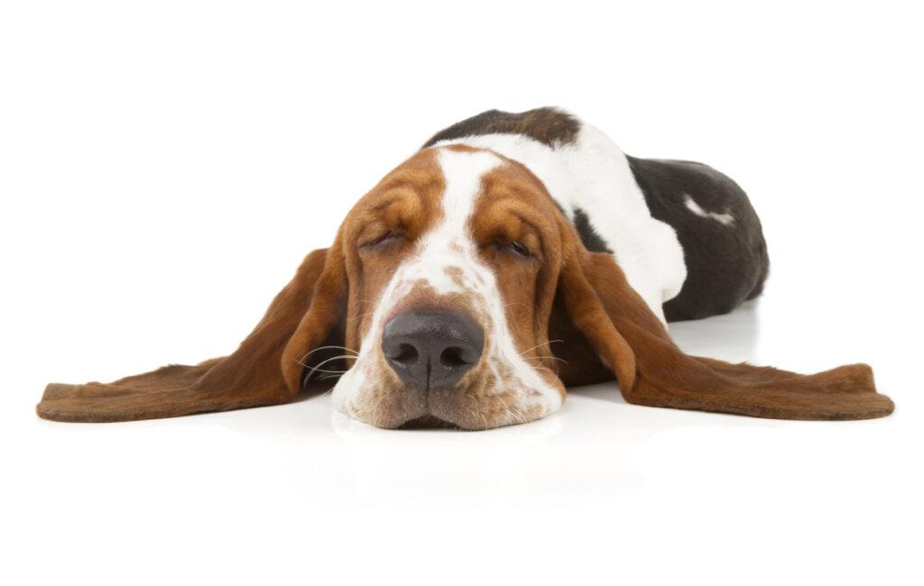 ¿Qué es la narcolepsia canina?