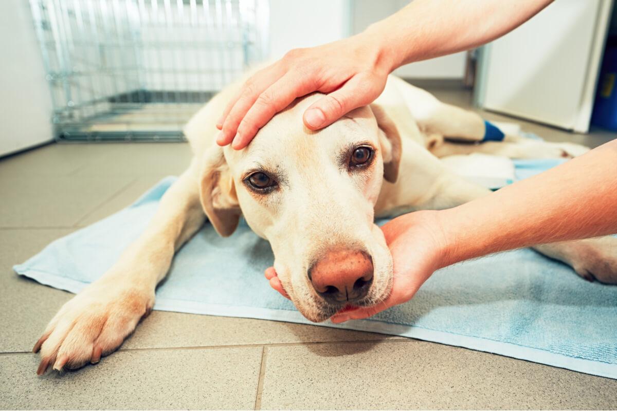 Un chien malade qui est triste.