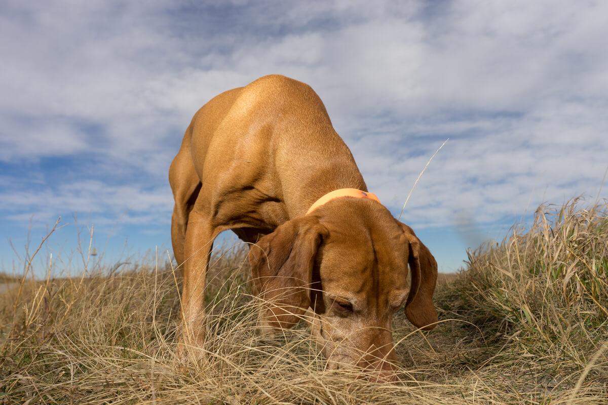 Un perro que está oliendo el campo.