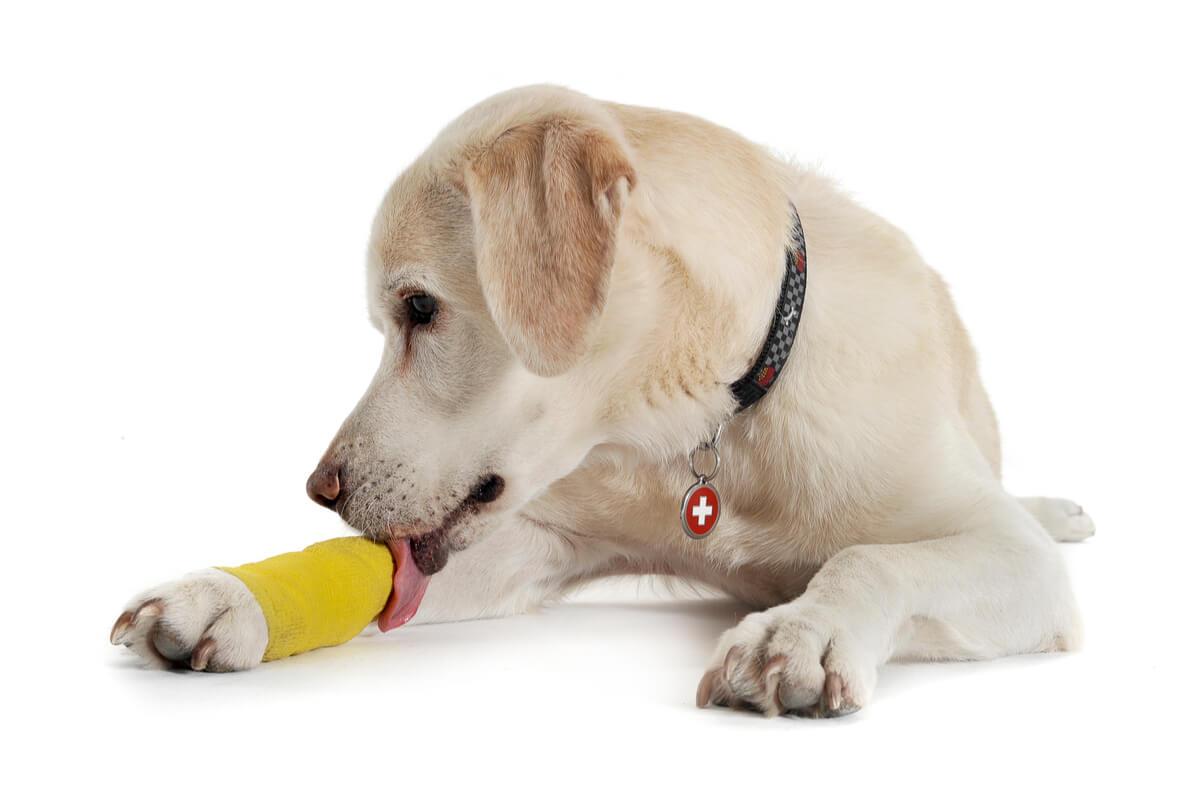 Un chien avec une patte foulée.