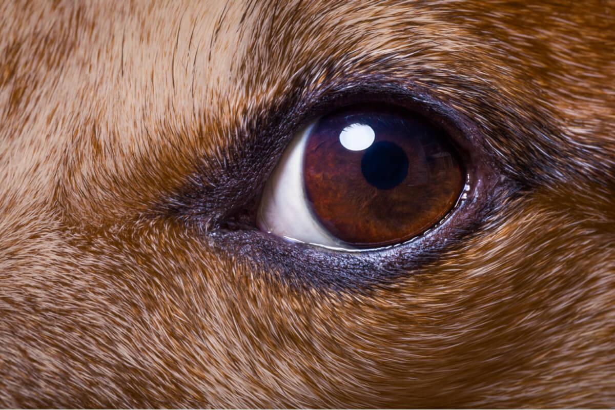 Desprendimiento de retina en perros.