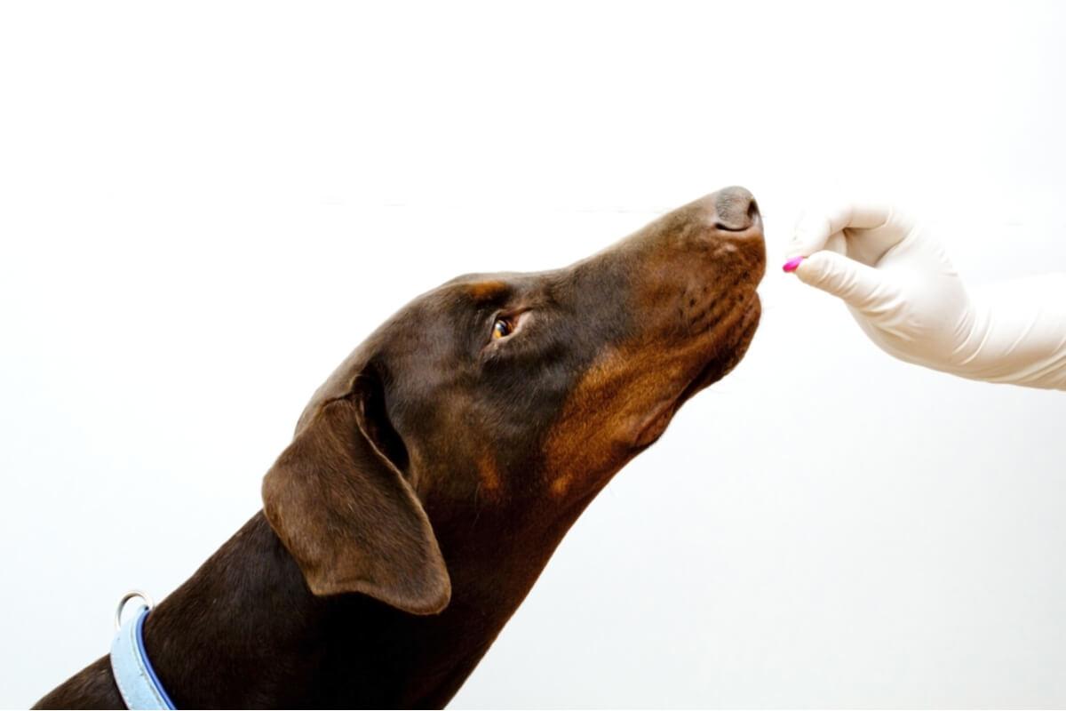 Un perro al que le dan una pastilla.