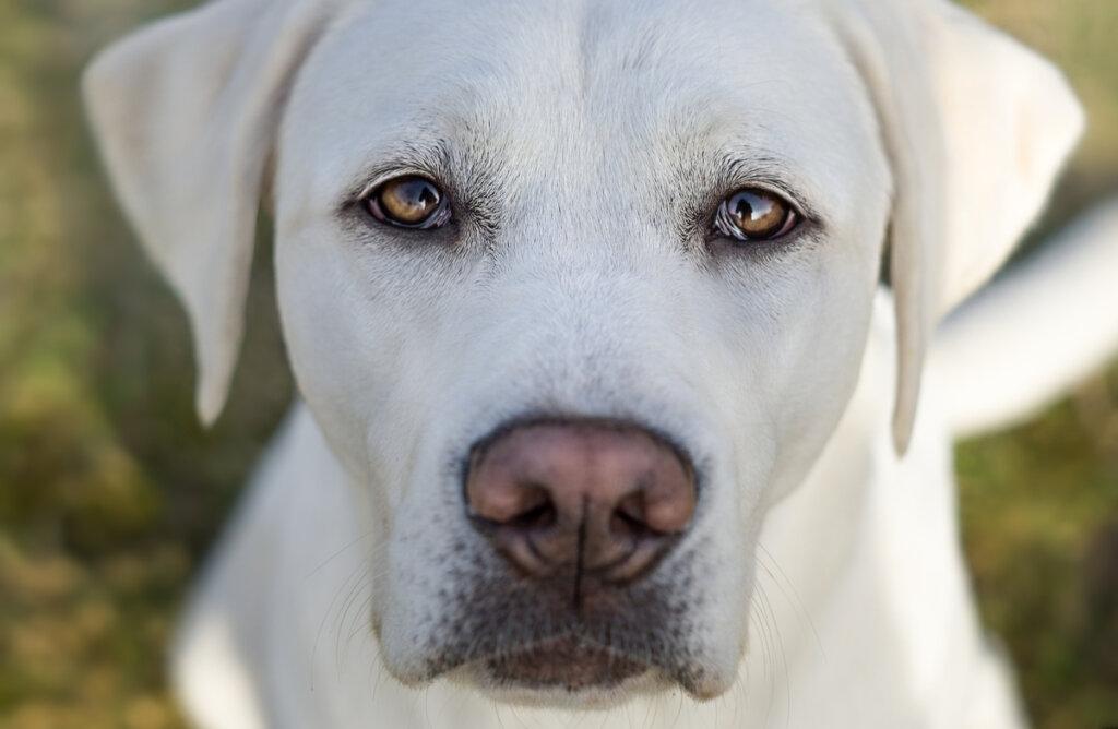 Cinco cuidados del pelo blanco en perros