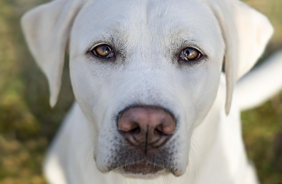 Un perro con pelo blanco.