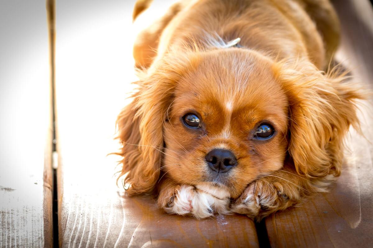 La mitad de los perros regalados en navidad terminan en condiciones de abandono.