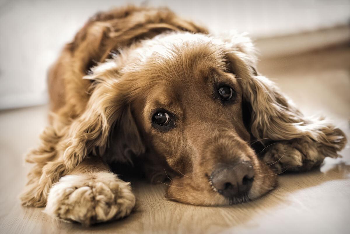 Un perro en el suelo con mirada triste.