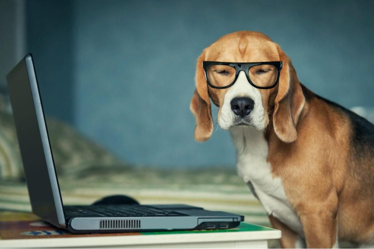 Un perro mirando un ordenador.