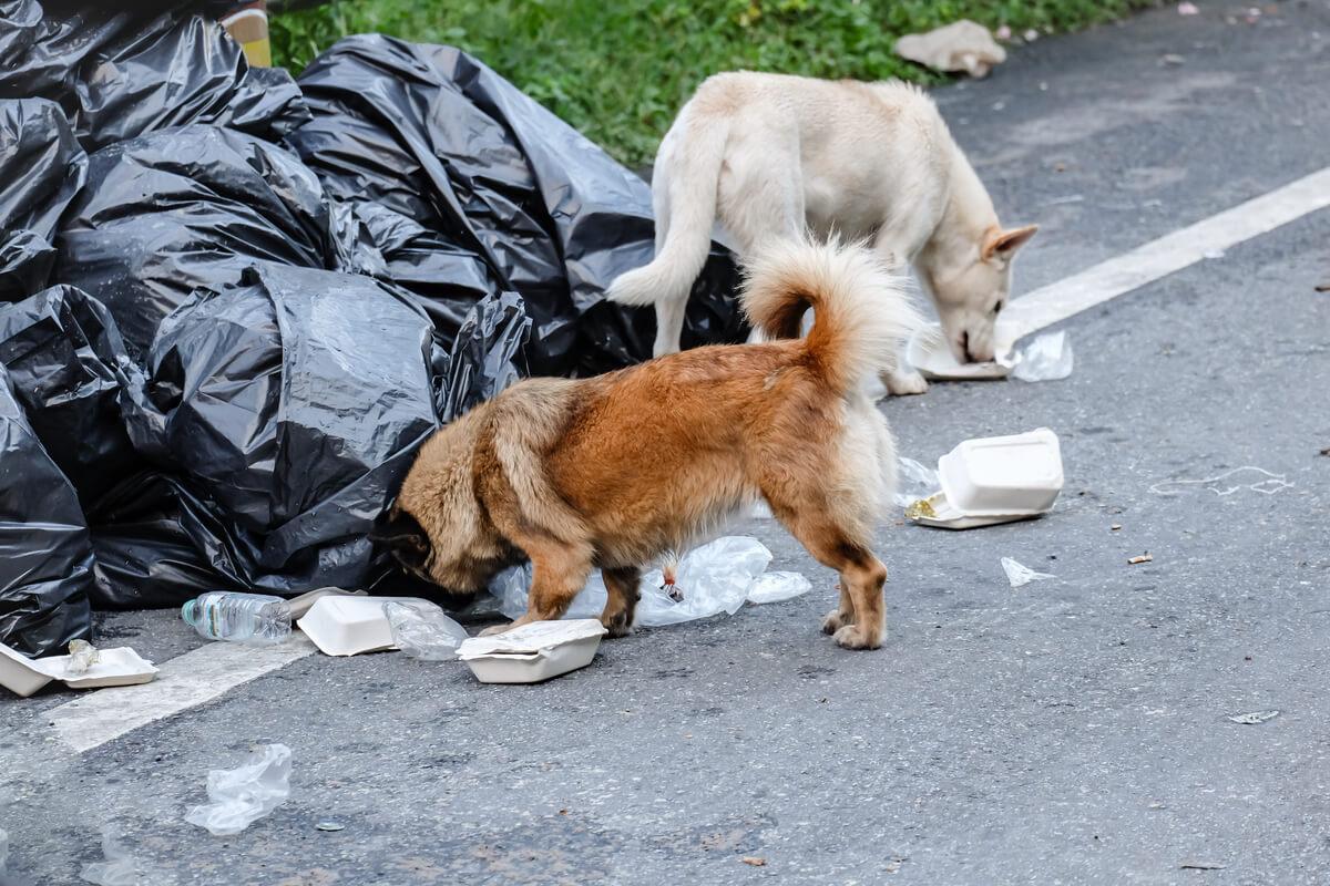 Perros que comen basura.