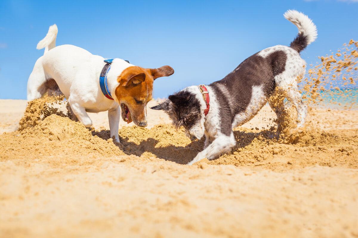 Perros enterrando cosas en la playa.