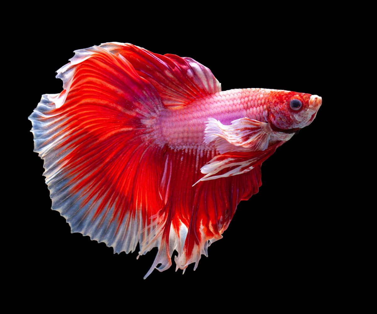 El pez betta es uno de los cinco peces más agresivos.