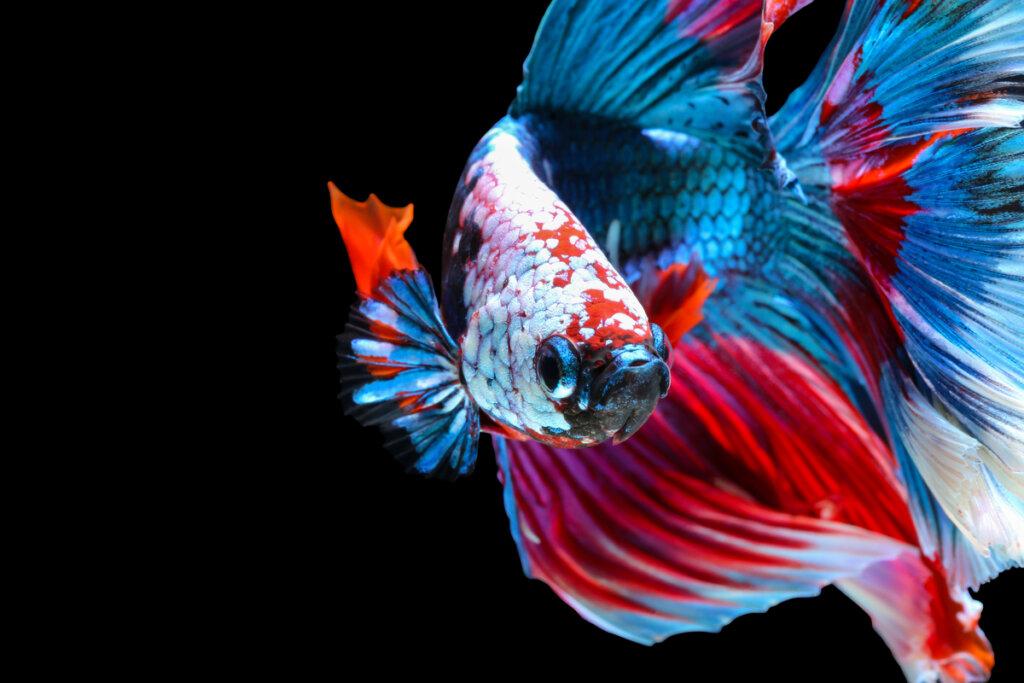 10 curiosidades del pez betta