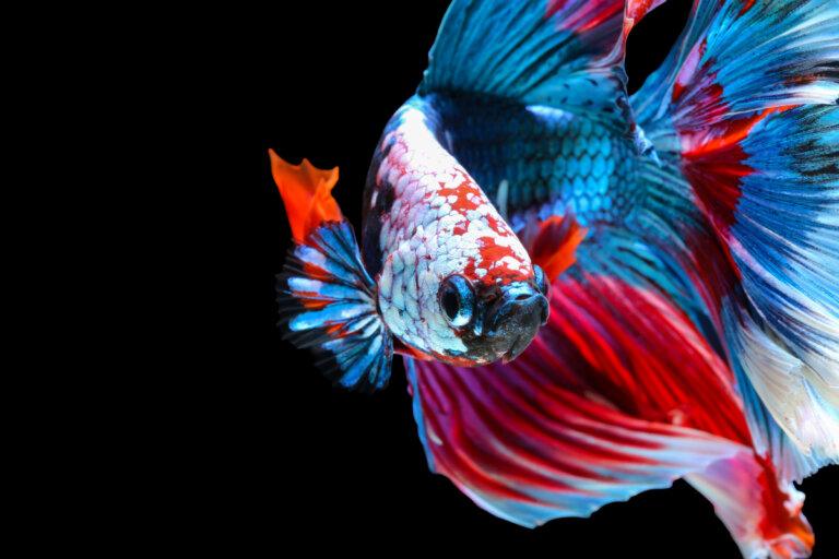 Los cinco peces más agresivos de la naturaleza