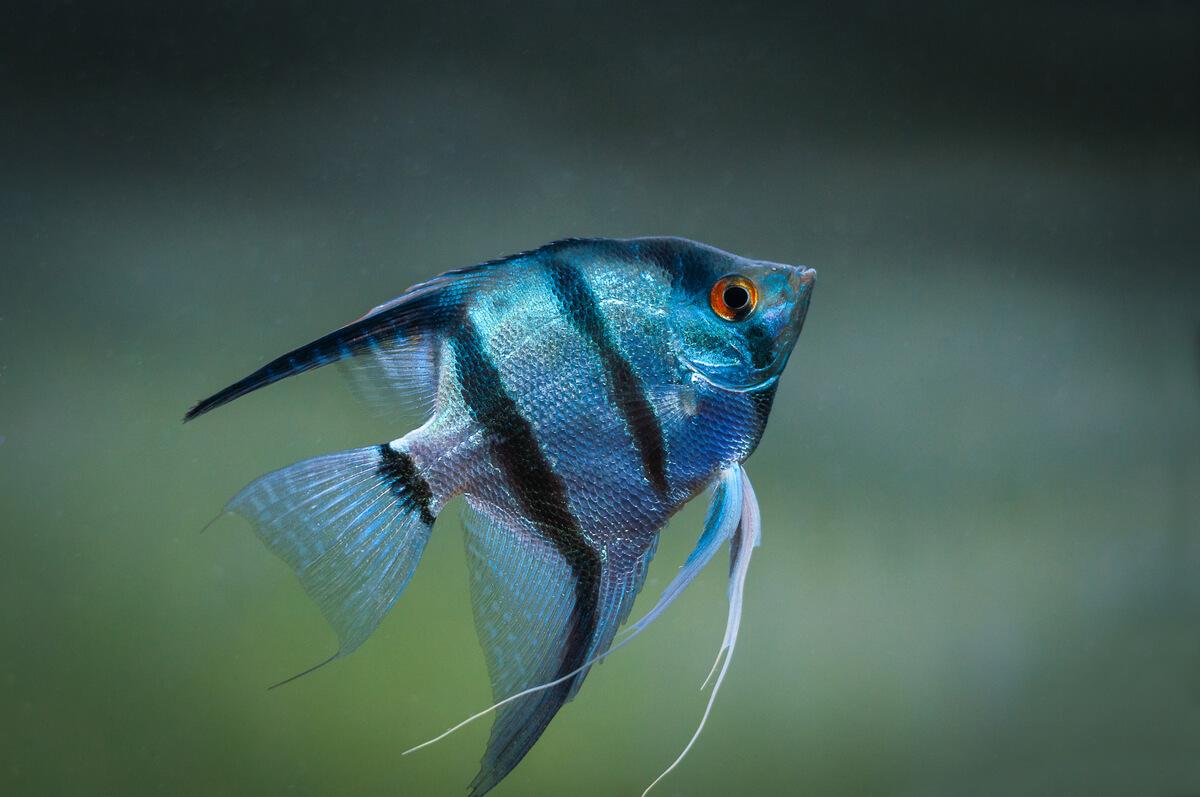 Un pez escalar en un acuario.