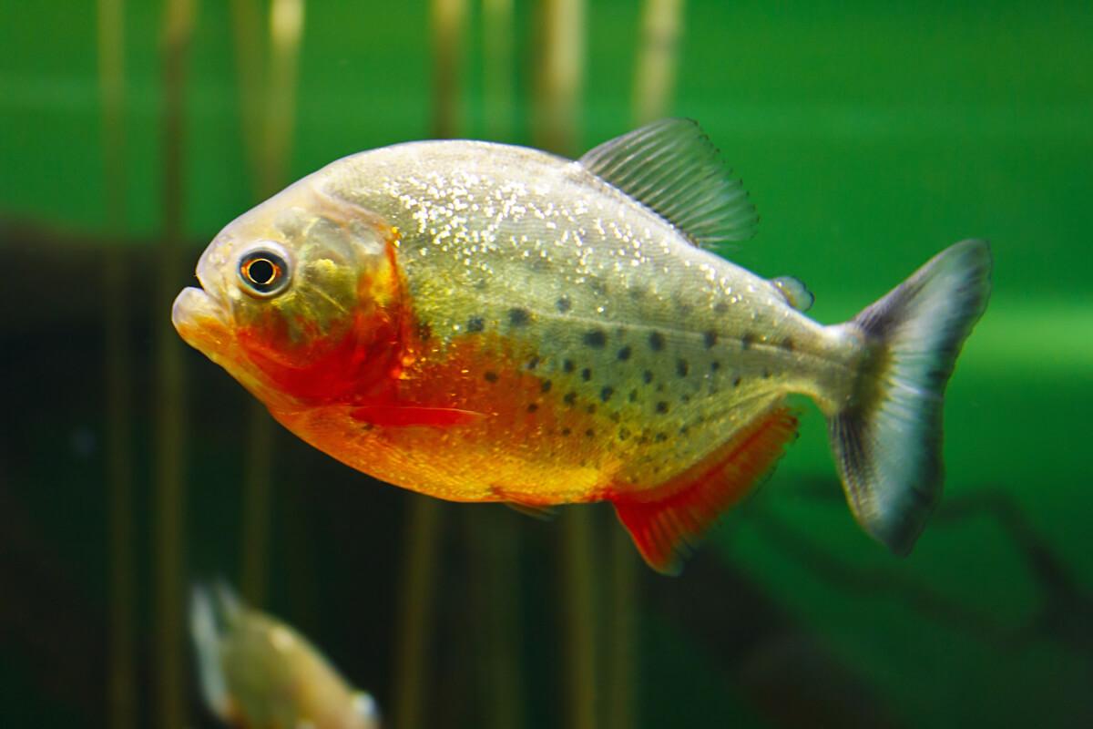 Una piraña de vientre rojo en un acuario.