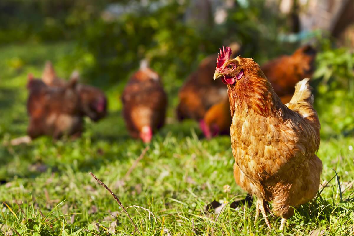 Pollos de granja en el campo.