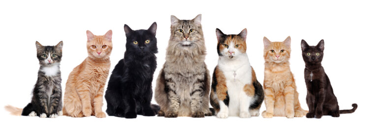 ¿Cuántas razas de gatos existen?